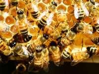 Semmelweis Egyetem: életveszélyes is lehet a méh- vagy darázscsípés
